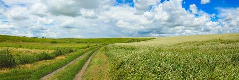 Panorama van landweg en bloeiende witte bloemen van buckwheatfagopyrum het groeien op landbouwgebied op een achtergrond van blauw stock foto's