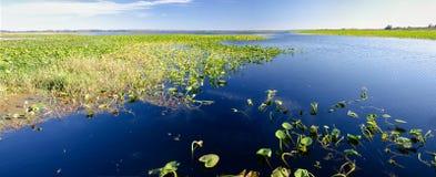 Panorama van leliestootkussens op een zoetwatermeer, Florida stock foto