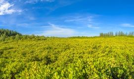 Panorama van Mangrovebos voor achtergrond wordt gebruikt die Stock Fotografie