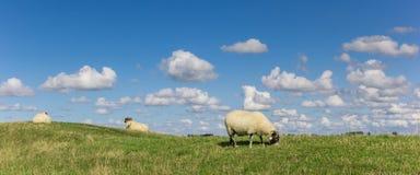 Panorama van Nederlandse witte schapen dichtbij Groningen royalty-vrije stock afbeelding
