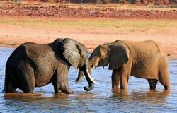 Panorama van olifant het spelen in Meer Kariba Stock Foto's