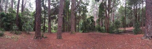 Panorama 1 van pijnboomforrest Stock Foto