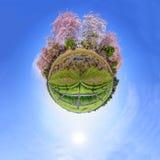 360 panorama van Roze Tecoma-bloem Stock Fotografie