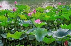 Panorama van roze waterlelies royalty-vrije stock foto's