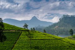 Panorama van theeaanplanting met Adams piek, Sri Lanka stock foto