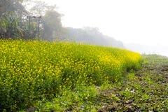 Panorama van tot bloei komend oliehoudend zaadgebied Mooi landelijk landschap met bloeiend raapzaad De vroege ochtend van het de  stock foto
