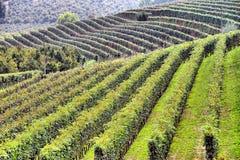 Panorama van wijngaarden Stock Afbeeldingen