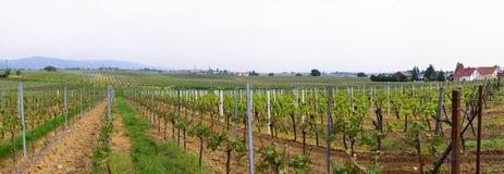 Panorama van wineyards in de lente stock afbeelding