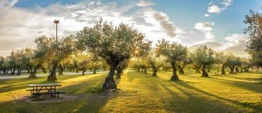 Panorama van zonsondergang achter grasgebied en olijfbomen Stock Fotografie