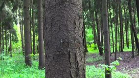 Panorama vertical del tronco de árbol de abeto en el bosque conífero de la parte inferior hasta los tops de los árboles almacen de metraje de vídeo