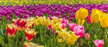Panorama of vibrant colorful tulips in Flevoland, The Netherland Stock Photos