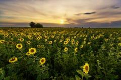 Panorama vibrante del campo del girasol en luz hermosa Fotografía de archivo libre de regalías