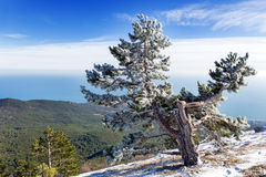 Panorama view from Ai-Petri mountain. Snow and iced pine trees Stock Photo