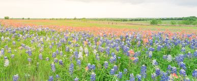 Texas Bluebonnet and Indian paintbrush blossom in rural Texas, U. Panorama view colorful wildflower fields blooming with rustic fence in background. Beautiful royalty free stock photo