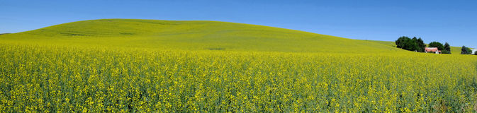Panorama view, country yellow flower field Royalty Free Stock Photos
