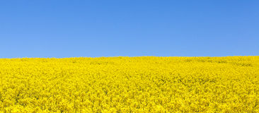 Panorama view of a field of bright yellow rapeseed or canola, bl Stock Image