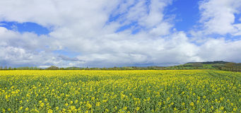 Panorama view of a field of oil seed rape. Royalty Free Stock Photo