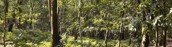 Panorama view of  forest. It is panorama view of semi-tropical forest Stock Images