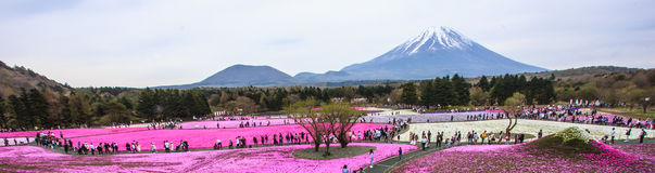 Panorama view of moss phlox fields in Shiba-sakura Festival. Panorama view of moss phlox fields in front of Mount Fuji in Shiba-sakura Festival, Japan Stock Photography