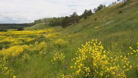 Panorama: view of nature. Green grass, yellow wild flowers. stock video footage