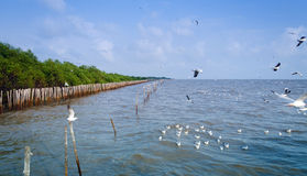 Panorama view of  Seagull is a bird migration to Bangpu Stock Photos