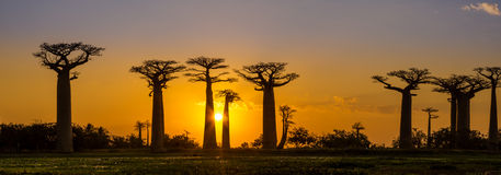 Panorama view at sunset above Baobab avenue Royalty Free Stock Photography