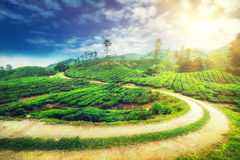 Panorama view of tea plantation, Malaysia Royalty Free Stock Photography