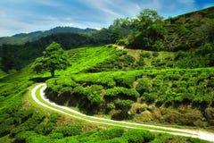 Panorama view of tea plantation, Malaysia stock photo