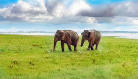 Panorama view with two elephants Royalty Free Stock Image