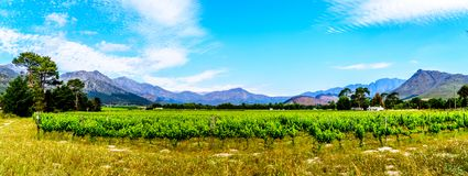 Panorama View of Vineyards of the Cape Winelands in the Franschhoek Valley in the Western Cape of South Africa stock photo