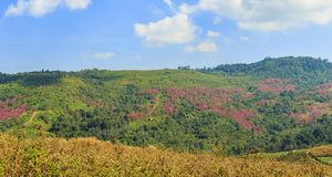 Panorama view of wild Himalayan cherry , cabbage and strawberry. Farming in the mountains of Phetchabun, Thailand, Agricultural background Royalty Free Stock Photos