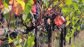 Panorama on the vine and a close-up of ripe bunch of dark grapes. Nature stock video