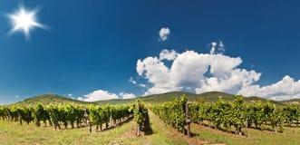 Panorama vineyard. Grapes growing in Tokaj. Hungary Royalty Free Stock Images