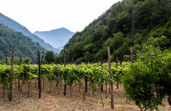 Panorama of vineyard. And mountains on background Royalty Free Stock Images