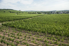 Panorama vineyard view of rhine scenery in germany Stock Photography