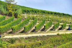 Panorama of vineyards Royalty Free Stock Image