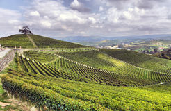 Panorama of vineyards Stock Photography