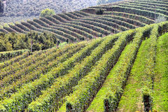 Panorama of vineyards Stock Images