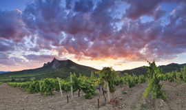 Panorama of the vineyards. At sunset Royalty Free Stock Photography