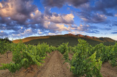Panorama of the vineyards Stock Photos