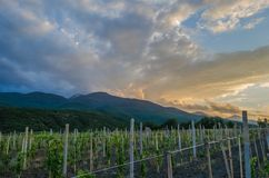 Panorama of vineyards on the sunset Royalty Free Stock Photography