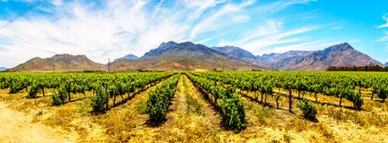 Panorama of Vineyards and surrounding mountains in spring in the Boland Wine Region of the Western Cape. In South Africa royalty free stock photos