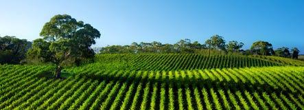 Panorama vivo del viñedo Fotografía de archivo