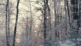 Panorama von den Bäumen des Waldes des Winterwaldverschneiten winters bedeckt durch Schnee stock footage