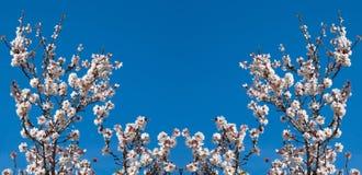 Panorama von den Blumen von Mandeln auf den Niederlassungen stockbilder