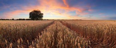 Panorama von einer Weizenweidelandschaft mit Weg Stockfotos