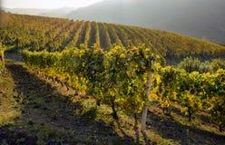Panorama von Herbstweinbergen Stockbild