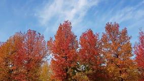 Panorama von multi farbigen Herbstbäumen mit blauem Himmel im Hintergrund stock footage
