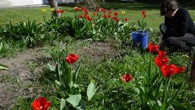 Panorama von Tulpenblumenbeeten im Frühjahr und von Gärtnerfrauenarbeit stock video