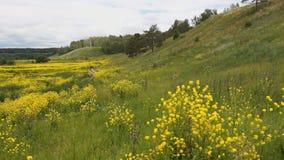 Panorama : vue de nature Herbe verte, fleurs sauvages jaunes banque de vidéos